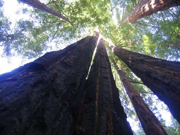 elder-trees_600px